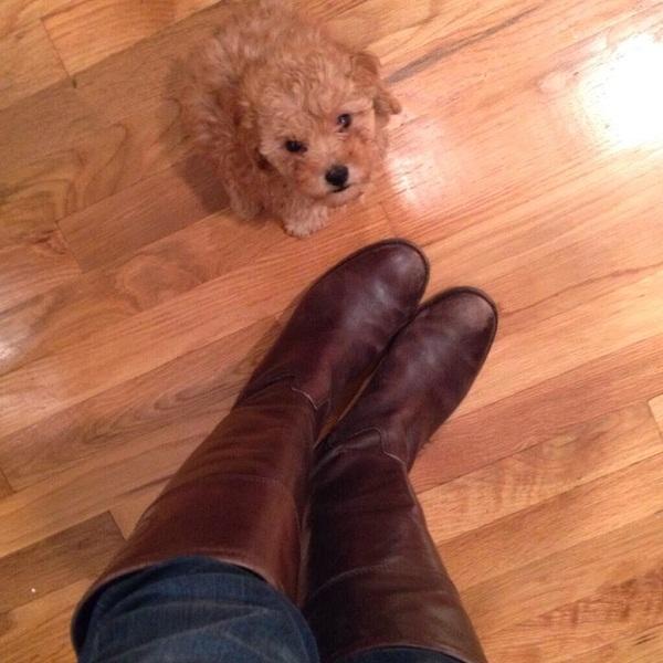Punishing your Puppies Poodle Training