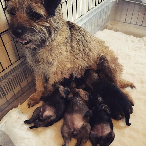 Register Your Puppies of Border Terrier