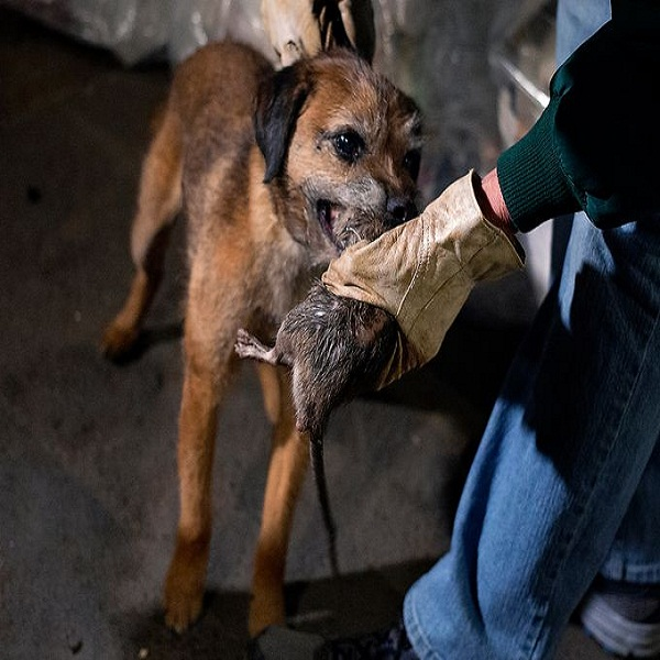 The Border Terrier Training how to hunt