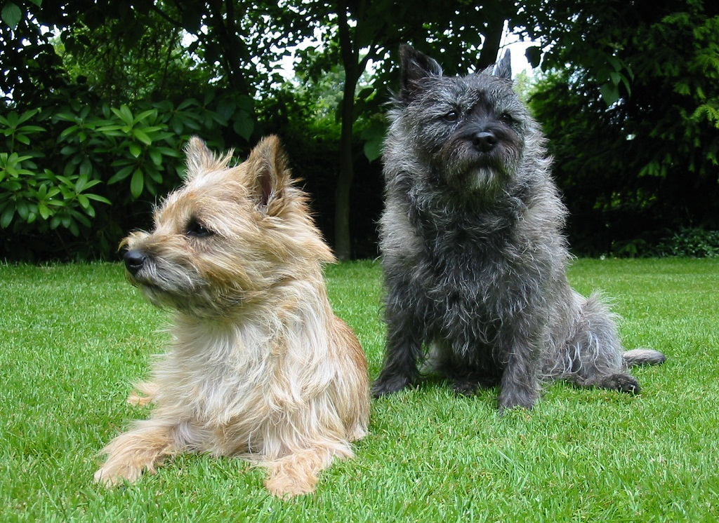 Read This Before Breeding Your Border Terrier