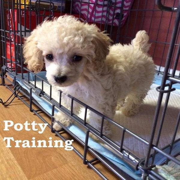 Potty Training Poodle Training