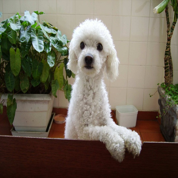 Poodle Training For Obedience