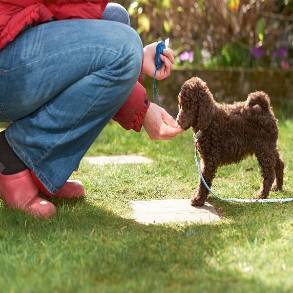 Poodle Training