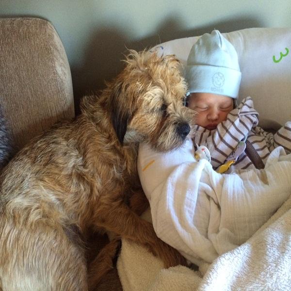 Household Rules For Border Terrier Training