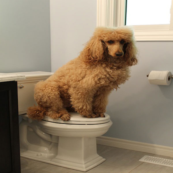 Potty Poodle Training