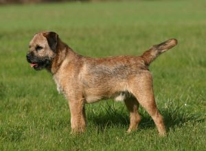 Training Border Terriers For Hunting And Standing Still