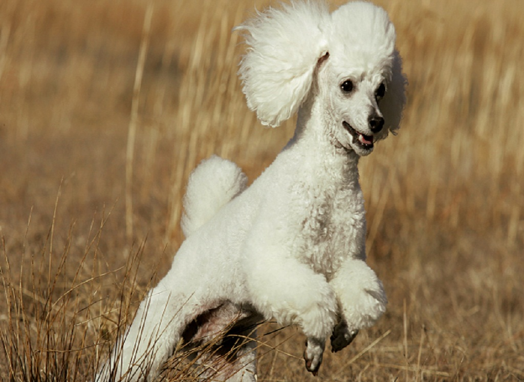 Tips On How To Train Poodles What You Need To Know