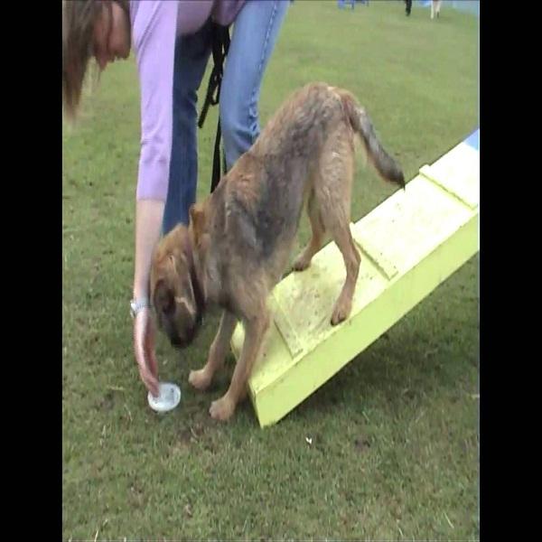 Border Terrier Training