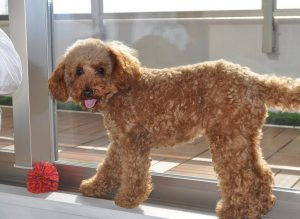 You Should Know These Things To Train Your Poodle