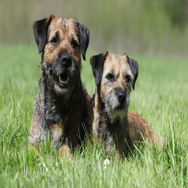 Selecting Mate for Dog Breeding