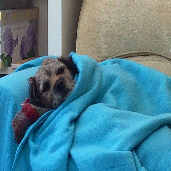 Health Problems In Border Terrier Training