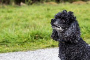 Best Dog Training Tips For Your Poodle