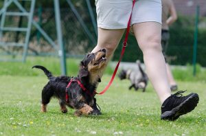 "Training Your Terrier To Stay And ""Not"" Run Away"