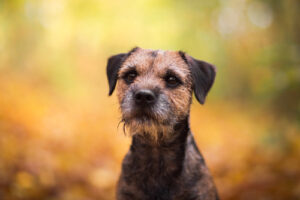 Learn More About Border Terriers – Your Family's New Best Friend